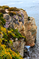 Rugged cliff and flowers as cliff hangers. Garrapata State Park, Big Sur, California, US.