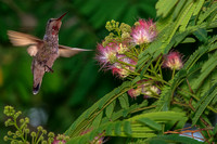 Hummingbird feeding off Silk Tree. California