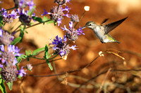 Anna's Hummingbird. Santa Cruz. California.