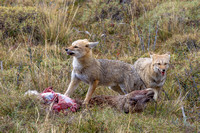 Grey foxes feast on a Guanaco. Torres del Paine National Park. Chile. South America. Unesco biosphere.