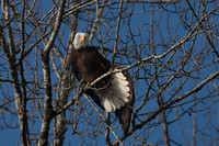 Nooksack River, Washington State,USA. Bald Eagle stretching feathers in treetop.