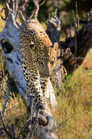 Leopard on the prowl. Botswana. Africa.