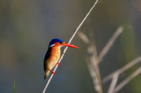 Malachite Kingfisher. Botswana. Africa.