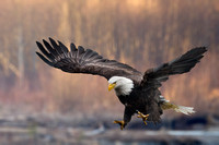 Nooksack River, Washington State,USA.Bald Eagle landing.