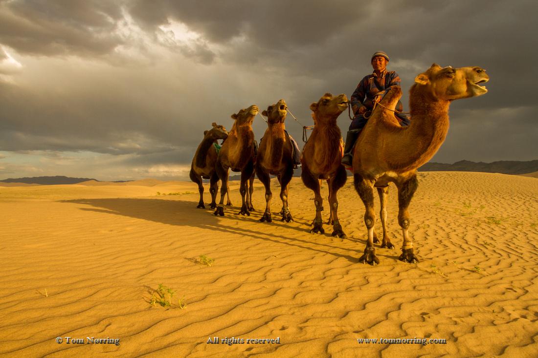 Mongolia. Gobi Desert. Camel Caravan.