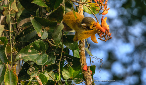 Squirrel monkey. Amazon basin. Peru. South America.