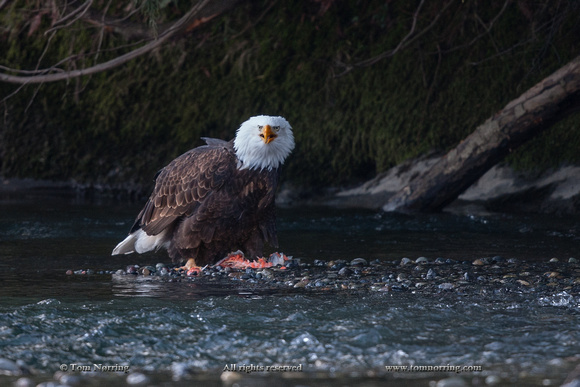 Nooksack River, Washington State,USA.Bald Eagle eating Salmon.
