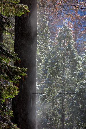 Snowy Mist in the Forest. Valley Floor. Yosemite National Park. California.