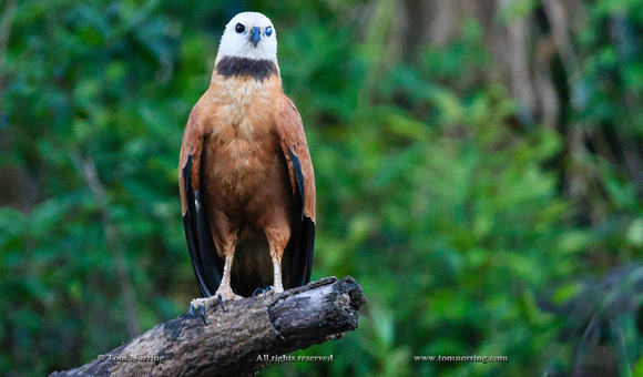 Black-Collared Hawk. Bird. Amazon basin. Peru. South America.