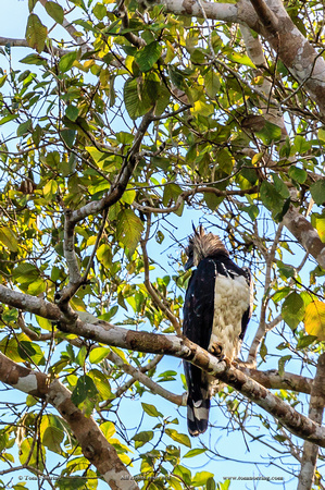 Bird. Very rare sighting of the Harpy Eagle. Amazon basin. Peru. South America.