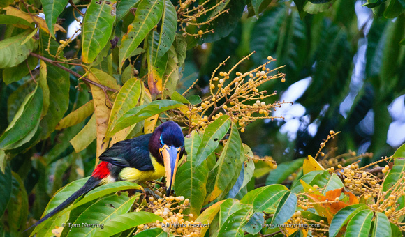 Lettered Aracari. Toucan. Amazon basin. Peru. South America.