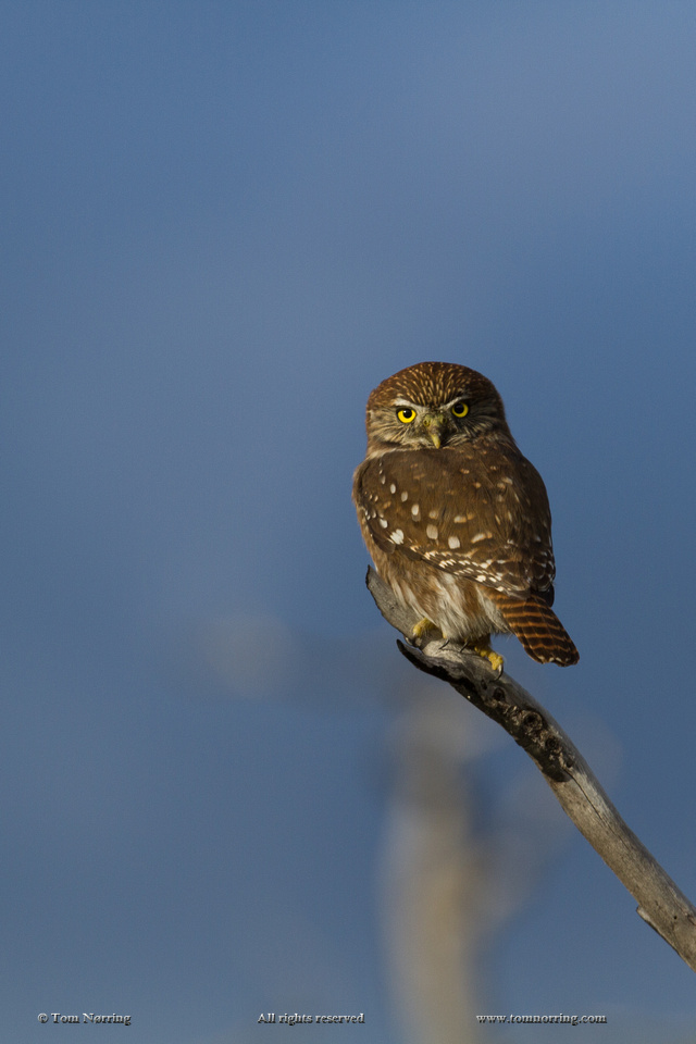 Austral Pygmy Owl. Torres del Paine National Park. Chile. South America. Unesco biosphere.