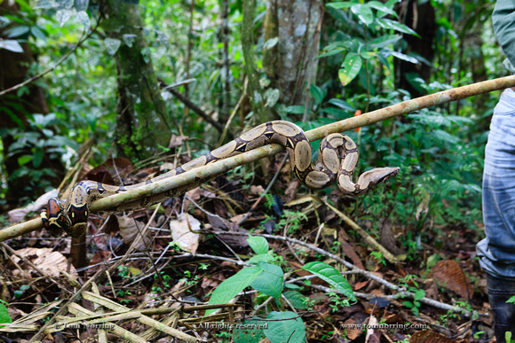 Red Tailed Boa Constrictor. Snake. Amazon basin. Peru. South America.
