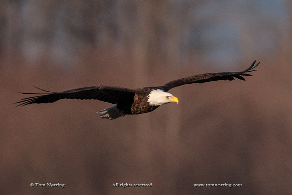 Nooksack River, Washington State,USA.Bald Eagle in Flight.