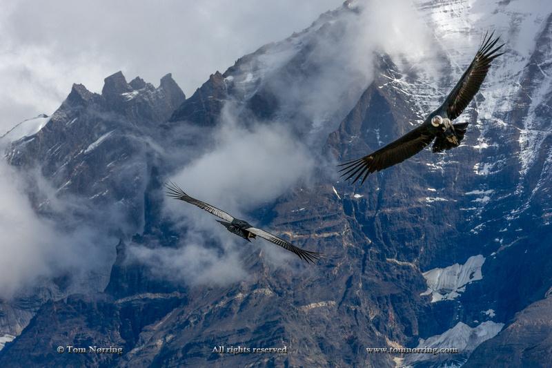 Andean Condor in flight. Torres del Paine National Park. Chile. South America. Unesco biosphere.