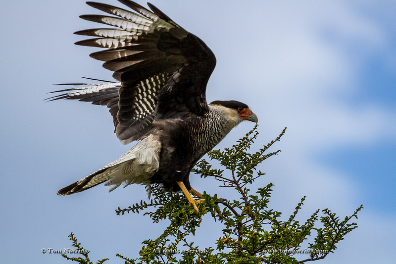 Flying Southern Crested Caracara. Torres del Paine National Park. Chile. South America. Unesco biosphere.