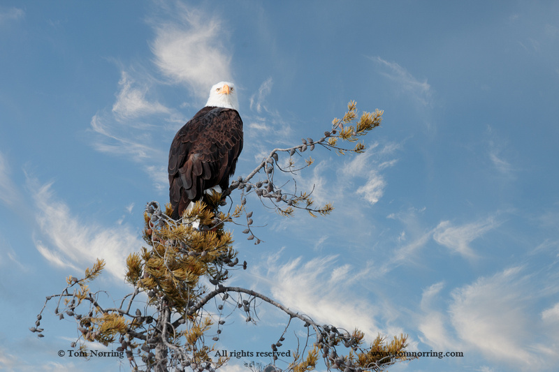 Majestic Bald Eagle on the Perch. Yellowstone National Park. Wyoming.