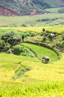 Working the Rice field with Water Buffaloes. SAPA Region. Vietnam, Indochina, South East Asia. Orient. Asia.