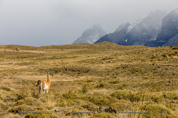 Guanaco roams high country. Torres del Paine National Park. Chile. South America. Unesco biosphere.