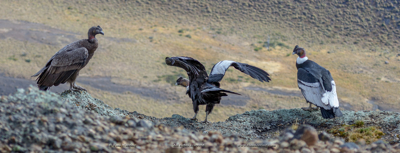 Condors on top of the World. Torres del Paine National Park. Chile. South America. Unesco biosphere.